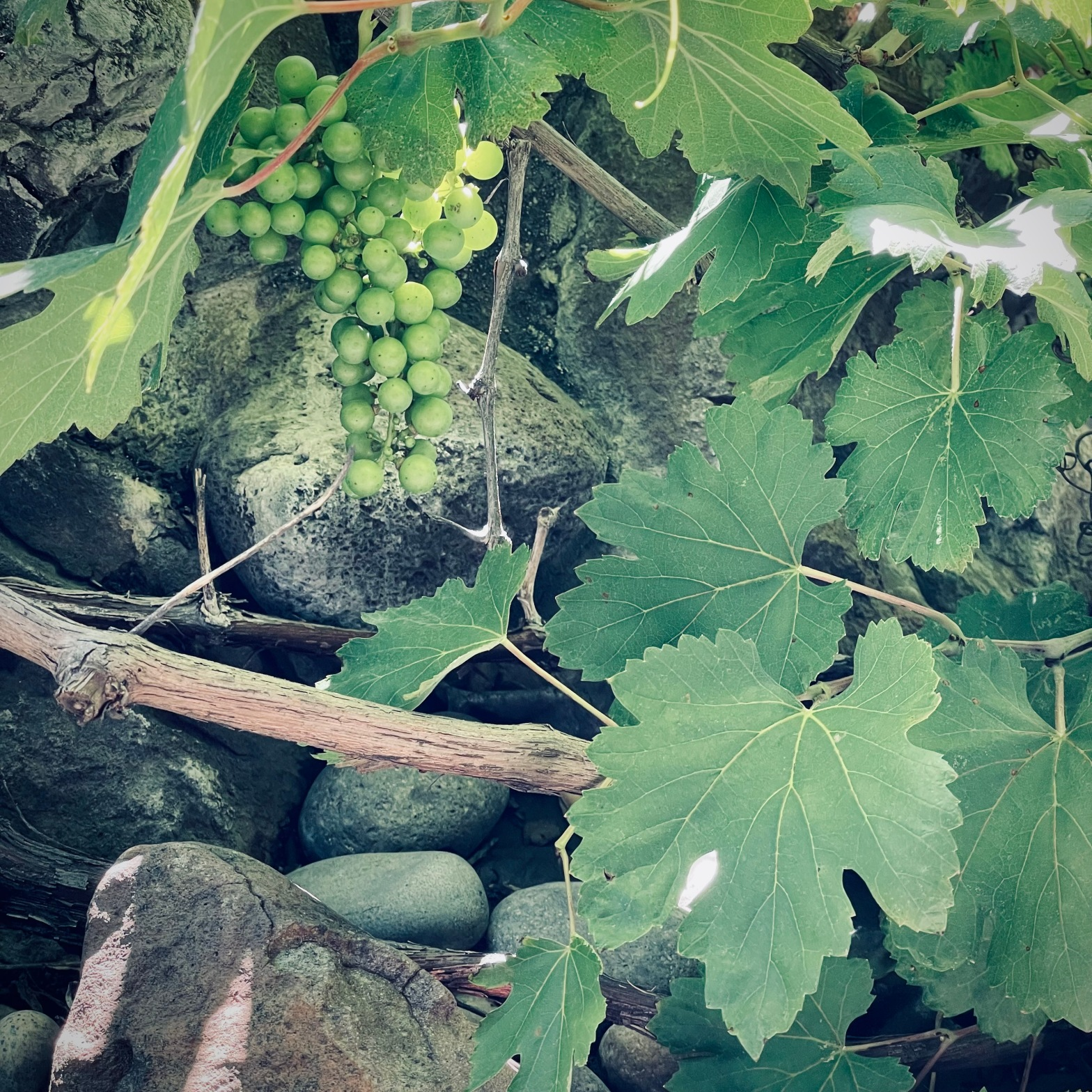 Grapevine with grapes.